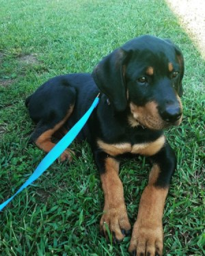 Is My Rottweiler Full Blooded? - puppy on blue leash