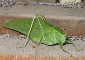 A leaf bug on a wooden structure.