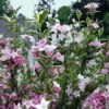 Weigela florida in bloom, with pink and white flowers.