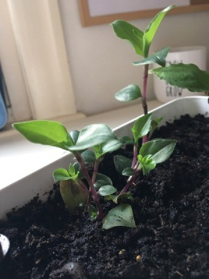 What Is This Houseplant? - plant with medium green leaves on a purple stem