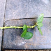 Taking Multiple Cuttings From A Rose Bush - trim most of the leaves off of the stems, leaving  2-3