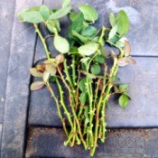 Taking Multiple Cuttings From A Rose Bush - cuttings ready to plant