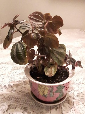Identifying a Houseplant - plant with fuzzy pink stems and striped leaves