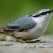 Nuthatch on the ground with green background.