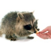 Young Raccoon being hand fed cheese.