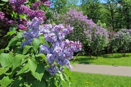 A blooming lilac bush.