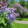 A blooming lilac bush.