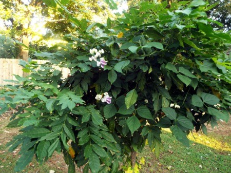 Wisteria Serves Double Duty - Vigna blooms in wisteria