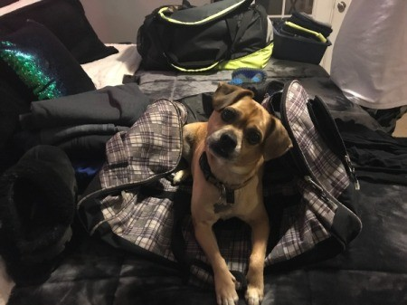 Zion (Puggle) - dog on top of satchel