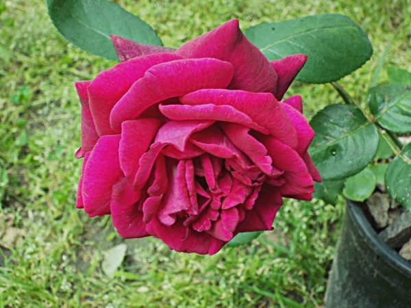 Rose Witches Broom - Healthy Dark Desire Rose
