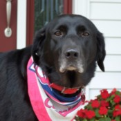 In Memory of Lacy (Black Labrador Retriever)