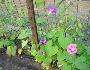 Pink morning glories growing up a structure.