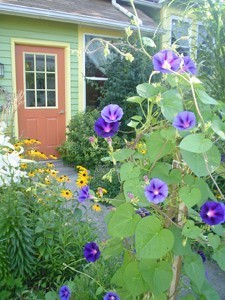 Purple morning glory blossoms in a front yard garden.