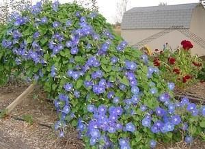 Blue morning glories in bloom.