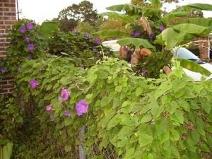 A purple morning glory bush in bloom.
