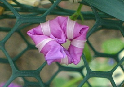 A pink morning glory blossom opening up.