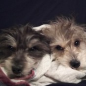 Miley Pumpkin and Butterbean (Mini Schnauzer/Chihuahua Mix) - two small dogs with wiry hair