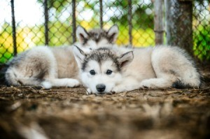 Puppies in an outdoor dog kennel.