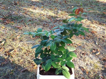 Don't Discard Sick Plants Too Hastily -  rose recovered from stem rot