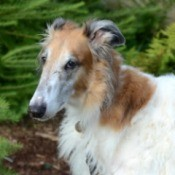 Borzoi (Russian Wolfhound) Breed Information and Photos