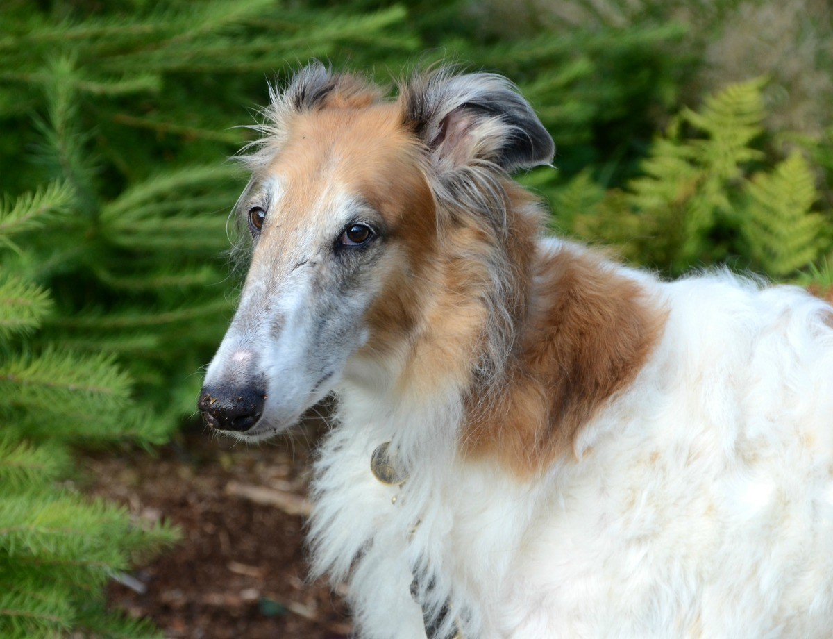 Borzoi Russian Wolfhound Breed Information And Photos