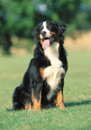 Swiss Mountain Dog