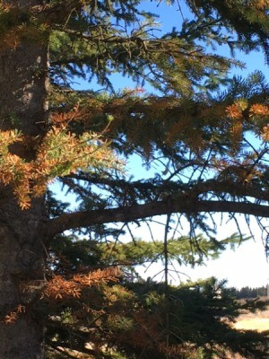 Evergreen Tree Needles Are Turning Brown