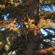 Evergreen Tree Needles Are Turning Brown - tree with brown needles