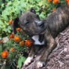 Pit Bull Puppy Small for Age - brindle puppy in garden