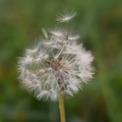 A dandelion seed head with seeds just starting to be blown.