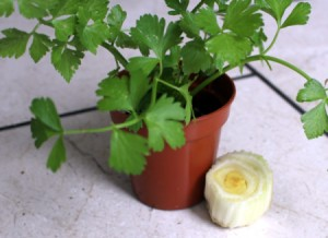 A potted vegetable next to the root end of a celery bunch.