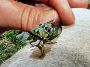 A large cicada being carefully held by a finger and thumb, outside.