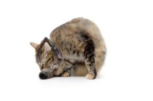 Cat pulling it's Hair