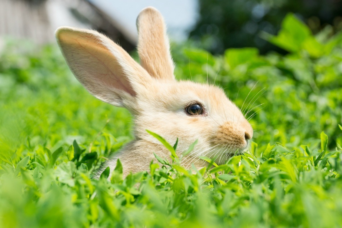 Treating Ear Mites in Rabbit Ears | ThriftyFun
