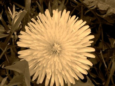 A sepia tone picture of a dandelion blossom on a grassy background.