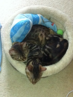Introducing a New Kitten to Resident Bengal Cat - Kiwi and Misty