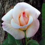 My Miracle Rose (Pristine) - lovely white rose with a blush of pink