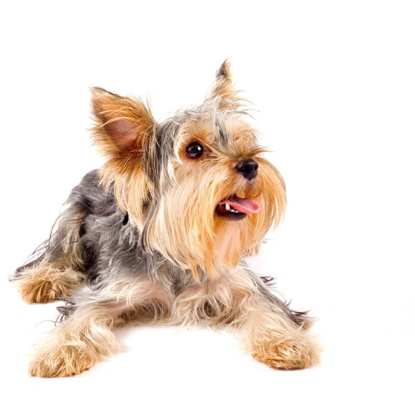 House Training A Yorkie Puppy Thriftyfun