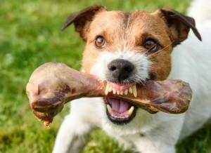 Aggressive Dog Holding Bone