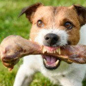 Aggressive Dog Holding Bone