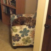 Bosley (Beagle/Boston Terrier) - dogs on a chair