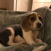 Puppy Poops in Crate - Beagle puppy