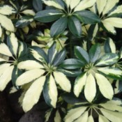 3 Organic Ways to Control Insects In Your Garden - variegated green and cream leafed plant