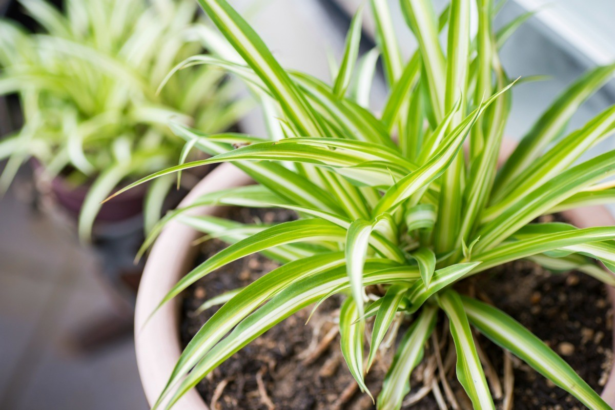 What Is This Houseplant? (Spider Plant)   ThriftyFun Spider House Plant on spider plant care tips, spider plant light, spider eating food, tall spider plant, spider plant on a stick, spider infestation in home, spider plants outside, spider plant poisonous, spider plant varieties, spider plant roots, houseplants plant, rare spider plant, spider grass plant, spider plant care indoor, snake plant, spider plant toxic to dogs, spider flowering plant, spider plant in the wild, aloe vera plant,