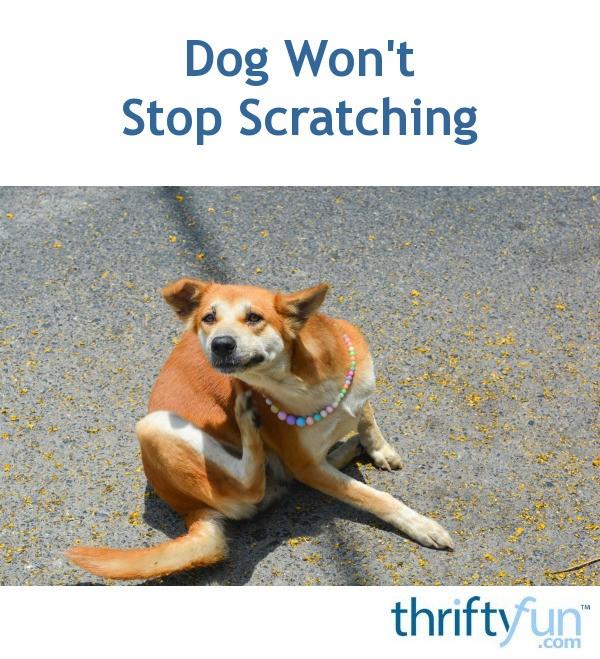 My Dog Wont Stop Licking Carpet