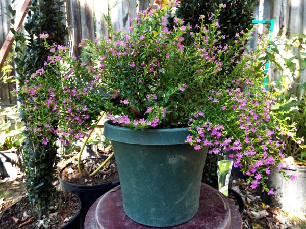 The Changing Of The Seasons - Mexican heather in a green pot.