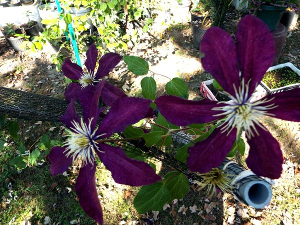 The Changing Of The Seasons -  Niobe Clematis