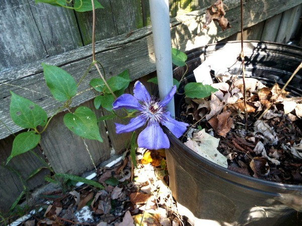 The Changing Of The Seasons - Jackmannii Clematis
