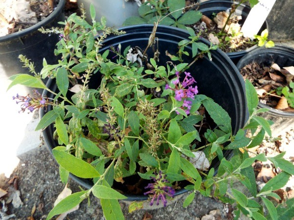 The Changing Of The Seasons - butterfly bush cuttings