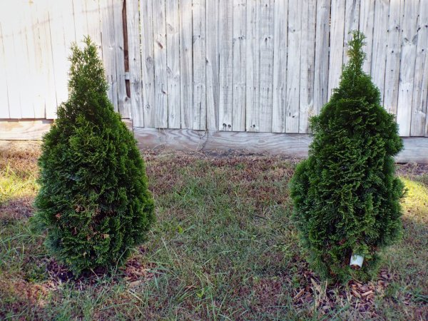 The Changing Of The Seasons - arborvitae
